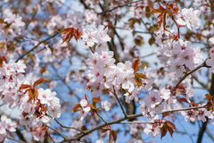 Sakura flowering. The arrival of spring. Sakura Flowering royalty free stock photos