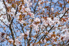 Sakura flowering. The arrival of spring. Sakura flowering. Japanese cherry royalty free stock photos