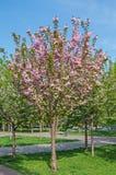 Sakura flowering Stock Photography