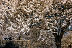 Sakura flowering in infra red view. Alsace, France Royalty Free Stock Photos