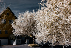 Sakura flowering in infra red view. Alsace, France Royalty Free Stock Photography