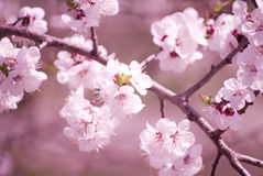 Sakura flowers Royalty Free Stock Image