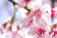 Sakura flowers stock photography