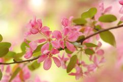 Sakura flowers Royalty Free Stock Images