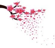 Sakura flowers background. Cherry blossom isolated white background. Chinese new year Stock Images