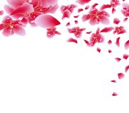 Sakura flowers background. Cherry blossom isolated white background. Chinese new year Royalty Free Stock Photos