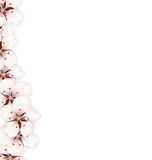 Sakura Flowers Background. Cherry Blossom Isolated on White Royalty Free Stock Photo