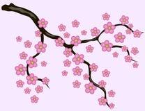 Sakura flowers background. Cherry blossom  white background Stock Images