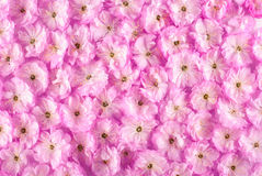 Sakura flowers background_10 Royalty Free Stock Photos