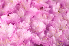 Sakura flowers background_6 Royalty Free Stock Photography