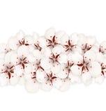 Sakura Flowers, bandera floral para la primavera Fotos de archivo libres de regalías