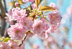 Sakura flowers Royalty Free Stock Photos