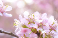 Sakura flowers Stock Photo