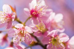 Sakura flowers stock image