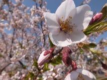 Sakura flowers. Beauty spring Sakura flowers photo Royalty Free Stock Images