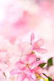 Sakura flowers blooming Royalty Free Stock Photography