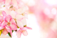 Sakura flowers blooming. Beautiful pink cherry blossom Royalty Free Stock Photos