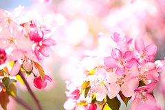 Sakura flowers blooming Royalty Free Stock Photo