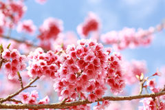 Sakura flowers blooming Stock Photos