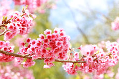 Sakura flowers blooming Stock Images