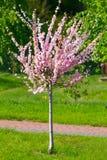 Sakura flowers blooming. Royalty Free Stock Images