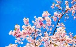 Sakura flowers blooming. Stock Image