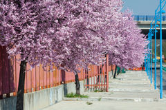 Sakura flowers blooming. Beautiful pink cherry. Stock Photos