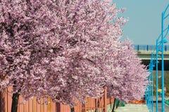 Sakura flowers blooming. Beautiful pink cherry. Royalty Free Stock Images