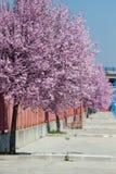 Sakura flowers blooming. Beautiful pink cherry. Royalty Free Stock Photo