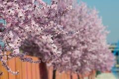 Sakura flowers blooming. Beautiful pink cherry. Royalty Free Stock Photography