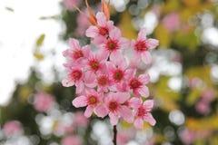 Sakura flowers blooming - Beautiful pink cherry blossom Stock Images