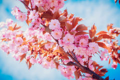 Sakura flowers blooming. Beautiful pink cherry blossom. Royalty Free Stock Image