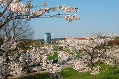 Sakura flowers blooming. Beautiful pink cherry blossom Royalty Free Stock Photo