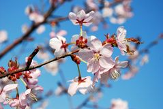 Sakura flowers blooming. Beautiful pink cherry blossom Royalty Free Stock Images