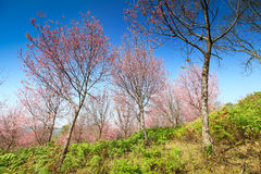Sakura flowers blooming blossom at Phu Lom Lo Stock Photo