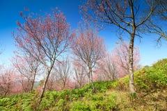 Sakura flowers blooming blossom at Phu Lom Lo Stock Photo