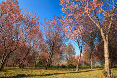 Sakura flowers blooming blossom in PhuLomLo Loei Province , Thai Stock Photography