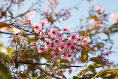 Sakura flowers blooming blossom in PhuLomLo Loei Province , Thai Stock Image