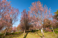 Sakura flowers blooming blossom in PhuLomLo Loei Province , Thai Royalty Free Stock Image