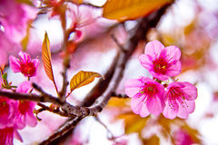 Sakura flowers blooming in winter Stock Photos