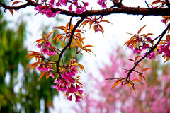 Sakura flowers blooming in winter Stock Photo