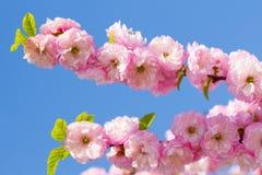 Sakura flowers blossom Stock Photography
