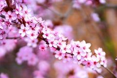 Pink sakura flowers in blossom, detail royalty free stock image
