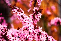 Pink sakura flowers in blossom, detail stock image