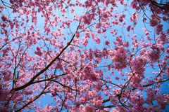 Sakura flowers in blossom stock image