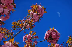 Sakura flowers on blue sky. Background with moon royalty free stock images