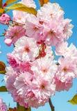 Sakura flowers on blue sky Royalty Free Stock Photos