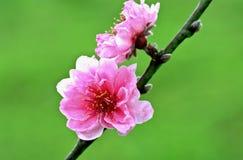 Pink Sakura flowers Royalty Free Stock Images