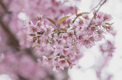 Sakura flowers , Cherry blossom. Close up Stock Photography