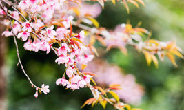 Sakura flowers , Cherry blossom. In the garden Royalty Free Stock Photo